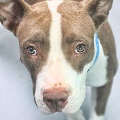 *GERONIMO-ID#A727533  Shelter staff named me GERONIMO.  I am a male, brown and white Pit Bull Terrier.  The shelter staff think I am about 10 months old.  I have been at the shelter since Jul 10, 2013.