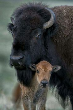 Buffalo and her baby