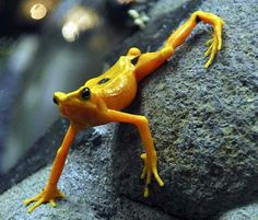 The Panamanian Golden Frog, is a critically endangered toad, weighing about 3g and measuring about 35mm. It communicates by waving its limbs in a form of semaphore as well as vocalizations.