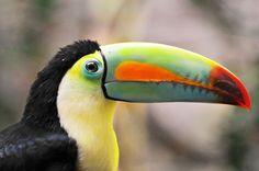 Toucan, the earl of Amazonia. Photo  by Tambako the Jaguar