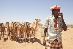 Camel Herder - Bosaso, Bari region, on the southern coast of the Gulf of Aden, seaport within the autonomous Puntland state.