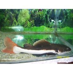 Red Tail Catfish, just picked up one of these. my little guy is just a few inches but in a couple years could be 30 INCHES! (right now he's eating minnows out of my hand.)