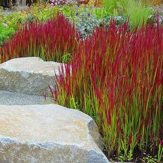 Rubra. This Japanese blood grass begins life a lush shade of green before growing blood like tips in the Autumn.