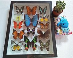 OOAK Rare Real Giant 14 Mix Butterfly Art Specimen Graphium Weiskei Morpho Deidamia Butterflies Framed Glass Taxidermy Insect  Mother Gift by mythaihome on Etsy