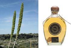 sotol-tequilas northern cousin-desert spoon plant