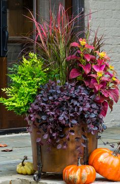 Fall container - Purple Pixie® Loropetalum,  'Lemon Lime' Nandina,, 'Fireworks' Pennisetum, & 'Alabama Sunset' Coleus.