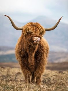 Md shohag hossain: It looks so beautiful and because the picture is taken on [& Happy Animals, Nature Animals, Farm Animals, Animals And Pets, Cute Animals, Scottish Highland Cow, Highland Cattle, Fluffy Cows, Fluffy Animals