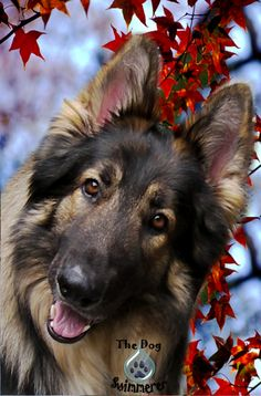 Gryphon  #dogswimmerer  #shiloh_shepherd