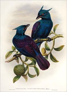 Sharpe's Birds of Paradise