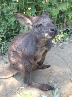 Kangaroo buddy