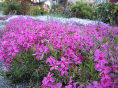 plante plein soleil couvre-sol- le phlox tapissant à fleurs douces