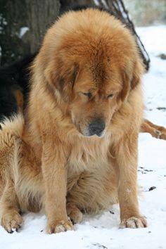 Pappy tired ... Tibetan Mastiff, Tired, Fur, Happy, Im Tired, Ser Feliz, Feather, Fur Coat, Fur Goods