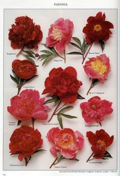 Peony specimens from Kelways Nurseries, Langport, Somerset, UK.