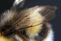 Bee's Wing 1 (1:34 group) by bda668, via Flickr
