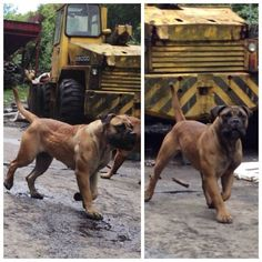 Boerboel -- Oh my gosh, look at this stud!!! Cachorros Rottweiler, Big Dogs, I Love Dogs, Dogs And Puppies, Cute Dogs, Doggies, South African Boerboel, Guard Dog Breeds, Farm Dogs