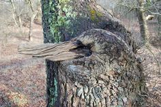 De boom begin maart 2016, één git ontbreekt.