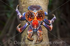License high quality Stock Photo or order Print of Coconut Crab Christmas Island. Weird Sea Creatures, Ocean Creatures, Beautiful Creatures, Unusual Animals, Rare Animals, Coconut Crab, Sand Fleas, Crab Art, Crab Shells