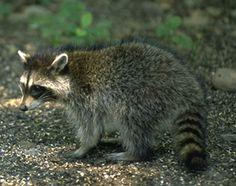 DNR: Nuisance Wildlife