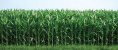 Σπύρος Ανδριώτης ΑΕ | γεωργικά εφόδια | ποικιλίες βάμβακος | υβρίδια καλαμποκιού | ποικιλίες μηδικής | σιτηρά