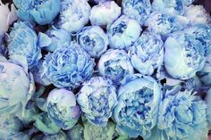 blue peonies // obsessed
