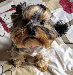 Teacup Yorkie, Teacup Puppies, I Love Dogs, Puppy Love, Adorable Dogs, Cute Animal Pictures, Cute Animals, Yorkshire Terriers, Yorkies