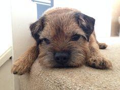 Twitter / Ange412: Border terrier love my gorgeous Hovis