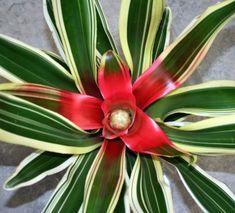 Neoregelia Carolinae and Hybrids, How to Grow Blushing Bromeliads, Bromeliad Care