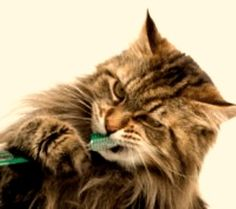 The importance of dental health for your cat - Pet Care - Katzen Cat Health Care, Dental Health, Dental Care, Oral Health, Routine, Teeth Care, Maine Coon Cats, Cat Grooming, Your Pet