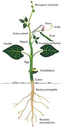 Éléments de botanique Les-Petites-Herbes-la-plante2