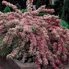 Variegated Weigela; This is a hummingbird magnet. Grows 4-6' high with a 5' spread. Zones 4-9 Flowers from late spring into fall.