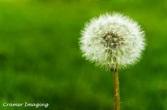 Dandelion Puff.  Learn more about it and our #IdahoArt at www.cramerimaging.com.