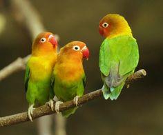 Fischer's Lovebird at Ueno Zoo, Japan.