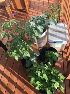 First ever container garden update #2: not a ton of fruit but wow that tomato is out of control