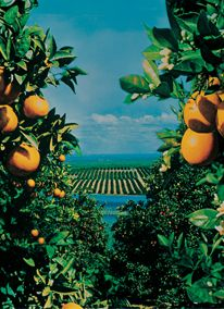 I'm sure you'll enjoy our Indian River Citrus, each and every gourmet gift basket, gift fruit basket, or other food gift from Hale Indian R...