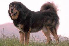 www.petclic.es la mayor tienda online de productos para #mascotas. La mayor biblioteca de contenido y consejos sobre mascotas. 1.000 consejos. 50.000 imagenes. Foto del #perro mastin tibetano