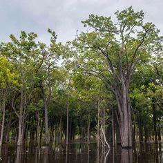 O Parque Nacional do Jaú é uma unidade de conservação brasileira de proteção integral da natureza localizada no estado do Amazonas.O parque é ótimo para a prática de caminhada e canoagem contemplando suas belezas naturais. Foto: @josangelajesus