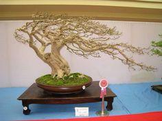 .windswept trained beautiful bonsai