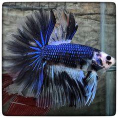 AquaBid.com - Monkeys Blue..!! (1672)
