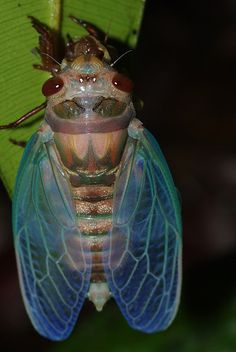 Ah, great bug lord, your color is pleasing to the eye (cicada)