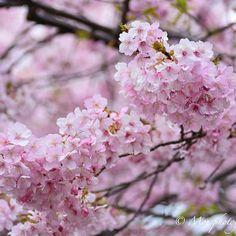 【moe.photography_】さんのInstagramをピンしています。 《location 静岡県河津町 おはようございます😊 静岡の河津桜まつりに行って来ました😌 今年は開花が早まり、原木は満開、川沿いの桜も八分咲き🌸 ただ…あいにくの雨☂️ イマイチなpicを量産してきましたが…しばらく桜シリーズpostしていきます😌 . . . #ファインダー越しの私の世界 #カメラ好きな人と繋がりたい #写真好きな人と繋がりたい#写真撮ってる人と繋がりたい #フォトグラファー #ダレカニミセタイケシキ #キリトリセカイ #カメラ初心者 #d7100#nikon_top #nikonartists #tokyocameraclub #東京カメラガールズ #IGersJP  #icu_japan #IG_JAPAN  #jp_gallery  #whim_life  #reco_ig  #PHOS_JAPAN  #pics_jp #team_jp_#art_of_japan_  #as_archive  #helios44_love #静岡 #伊豆 #河津桜…