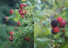 wild berries ...I got the worse case of chiggers in my life picking blackberries! Love them though!