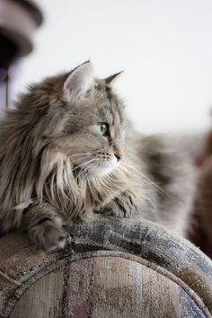 Long haired Cat on antique