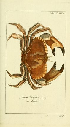 Gravure Illustration, Science Illustration, Nature Illustrations, Antique Illustration, Botanical Illustration, Crab Illustration, Vintage Prints, Vintage Posters, Historia Natural