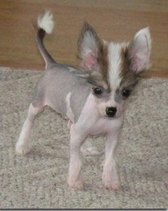 Chi Chi Dog (Chihuahua-Chinese Crested Mix) Info, Temperament ...