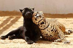 Jaguars; F&O Fabforgottennobility