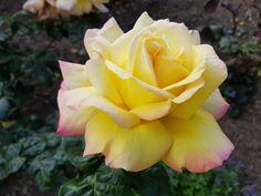 Beautiful Flowers, Most Beautiful, Rose Gold Heels, Brighten Your Day, Tulips, Flora, Backyard, Plants, Garden Ideas