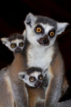 Facts and information about Ring-tailed Lemur ( Lemur catta ) | ToooPic