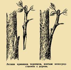 Летняяпрививкачеренком