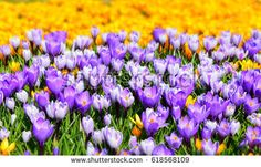 Crocuses pyrple and yellow flowers. Beautiful springtime photography.