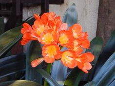 clivia+:+lindas+flores+|+ahorayya2